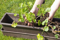Transplanting geraniums in a pot. Stock Image