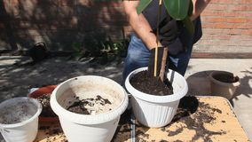 Transplanting the ficus into a larger pot. Transplanting house plants in a plastic pot stock video