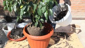 Transplanting the ficus into a larger pot. Transplanting house plants in a plastic pot stock footage