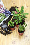 The transplanting indoor plants royalty free stock photos