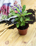 The transplanting indoor plants. Transplanting indoor plants. Earth, plants on a table closeup Stock Photos