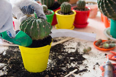 Transplanting large cactus in the pot. Transplanting large cactus in the yellow pot Stock Image
