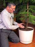 Transplanting a large houseplant Royalty Free Stock Photos