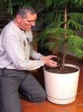 Transplanting a large houseplant. Transplanting a Norfolk Island pine Royalty Free Stock Photos