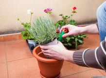 Transplanting lavender plant. In a terrace at home stock image
