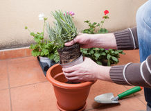 Transplanting lavender plant. In a terrace at home stock images