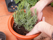 Transplanting lavender plant Stock Photography