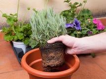 Transplanting lavender plant Stock Photos