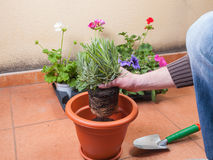 Transplanting lavender plant. In a terrace at home royalty free stock photos
