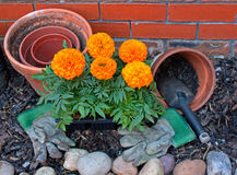 Transplanting Marigolds into pots Stock Images