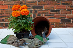 Transplanting Marigolds into pots Royalty Free Stock Photography