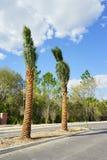 Transplanting Palm tree. Taken in Florida, USA Royalty Free Stock Photography