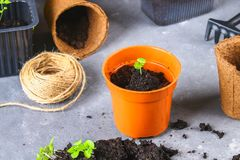 Transplanting, planting, sprinkling seedlings on a gray concrete background. royalty free stock photography