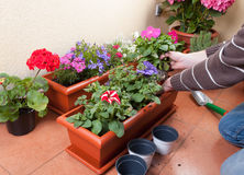 Transplanting plants flowers Royalty Free Stock Images