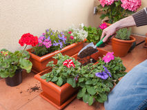 Transplanting plants flowers Royalty Free Stock Photography