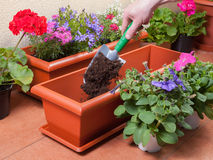 Transplanting plants flowers Stock Image