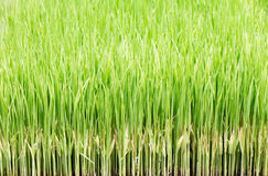 transplanting rice Royalty Free Stock Photo