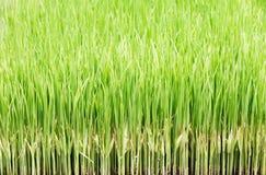 transplanting rice Royalty Free Stock Photo