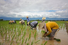 Transplanting rice farmer Stock Image