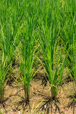 The transplanting rice farming. Stock Photos