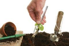 Transplanting a seedling Royalty Free Stock Image