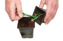 Transplanting seedlings Stock Photo