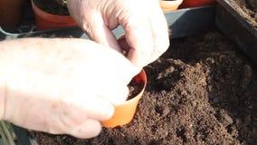 Transplanting seedlings into pots. stock footage