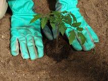 Transplanting tomato plant Stock Photo