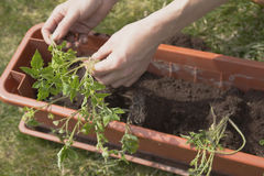 Transplanting tomato plants Stock Images