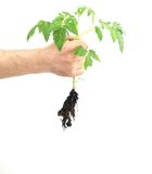 Transplanting tomatoes Stock Image
