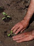 Transplanting tomatoes. Man transplanting tomato seedlings in springtime Royalty Free Stock Photography