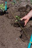 Transplanting tomatoes. Man transplanting tomato seedlings in springtime Royalty Free Stock Photo