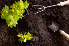 Transplanting yellow celosia flowers in the garden. Transplanting yellow celosia flowers, or amaranth, in the garden with a tray of seedlings standing on rich Royalty Free Stock Photo