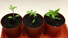 Transplanting young seedlings of tomato seedlings stock video