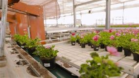 Transportör i ett stort modernt växthus, automatiserad maskin i ett växthus för växande blommor arkivfilmer