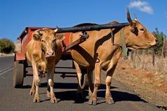 Transport 1 de chariot de boeuf photographie stock libre de droits