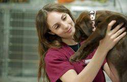 Transport d'un chiot brun mignon de laboratoire au vétérinaire Photos libres de droits
