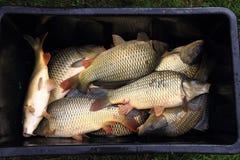 Transport des poissons de carpe Photo libre de droits