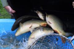 Transport des poissons de carpe Photographie stock