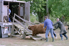 Transport des Viehs Stockfoto