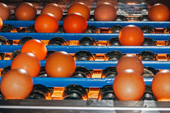 Transport eggs to checkpoint Eggtester Stock Photo