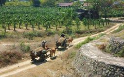 Transport en le boeuf-chariot Images stock