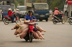 Transport of fresh pork. Everywhere and at all hours to Vietnam, we can cross a motorcycle loaded pork. The health standards if they exist are not enforced Stock Photos
