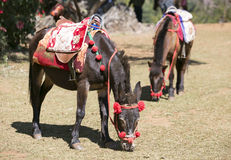 Transport by mules in Chiang Mai, Thailand. Transport by mules in Chiang Mai of Thailand Stock Photo