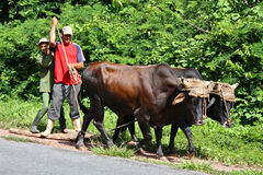 Transport by Oxen, Cuba. As a consequence to the US economic embargo and the collapse of the Soviet Union, gasoline is scarce and oxen are common means of Royalty Free Stock Photography