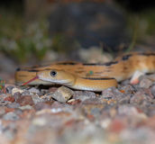 Transport PECO Ratsnake Stockbilder
