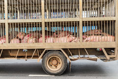 Transport of slaughter pigs stock photography
