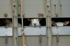 Transportador dos carneiros Imagem de Stock Royalty Free