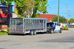 Transportando o gado Foto de Stock Royalty Free