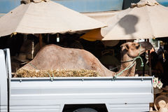 Transportation of camel by car in Tunisia Stock Photo
